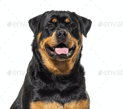 Close-up on a happy Rottweiler dog, isolated on white