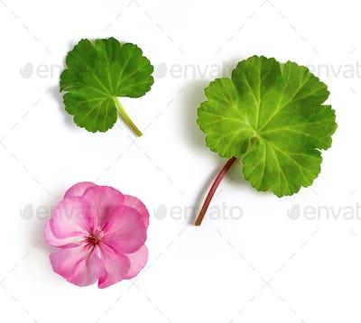 geranium flower and leaves