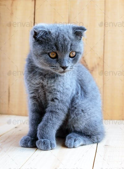 Kitten Scottish breed with cropped ears. Watch carefully.
