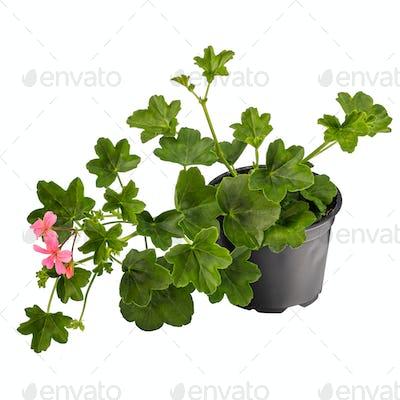 Potted ivy geranium or cascading geranium