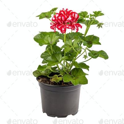 Beautiful bicolor white red pelargonium