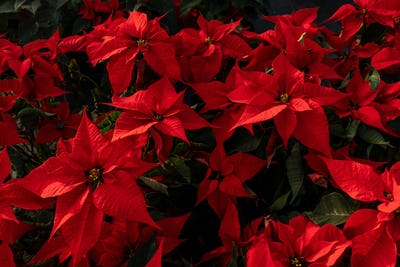 Red poinsettia flowers in greenhouse