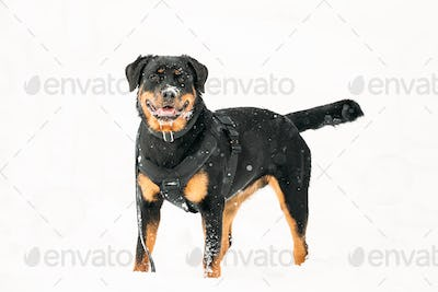 Black Rottweiler Metzgerhund Dog In Snow During Winter Day. Dog Is Dressed In A Special Training