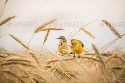Western Yellow Wagtail. Motacilla Flava Is A Small Passerine In The Wagtail Family Motacillidae