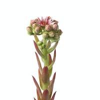 Flowering houseleek with buds