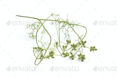 Fresh coriander seed on a sprig