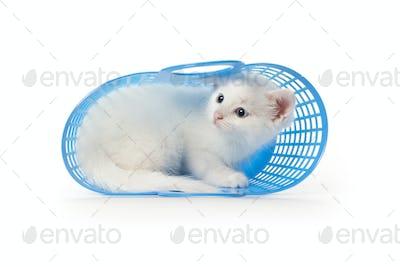 Cute white kitten with blue eyes hiding in a blue plastic baske