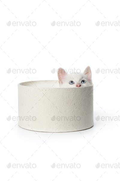 Cute white kitten with blue eyes in a box