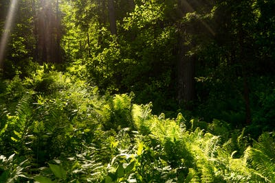 Fern in the forest and sun rays.
