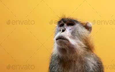 Patas monkey portrait