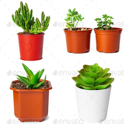 Collage of potted succulents isolated on white