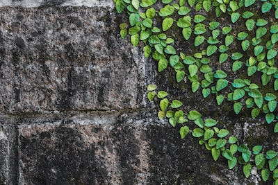 Texture of black aged stone wall with green clambering plant in Bali