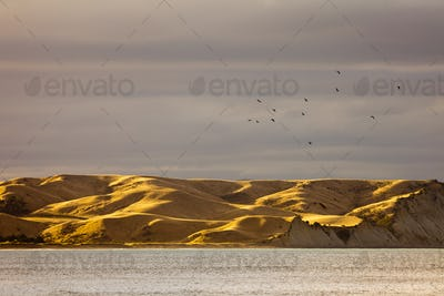 Flock of bird over dry yellow coastal grassland, NZ