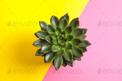 Beautiful succulent plant on color background, top view. Space for text