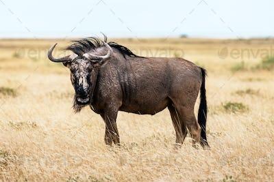 Large african antelope Gnu walking in yellow dry grass