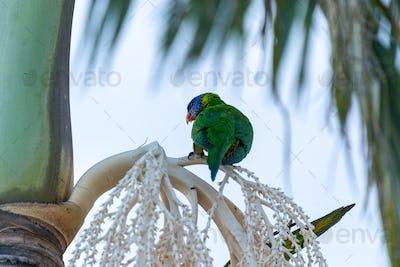 Rear View of Rainbow Lorikeet Sitting on a Palm Tree. Animal Concept