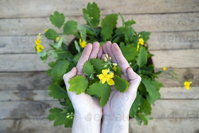 Yellow Chelidonium flowers used in homeopathy.