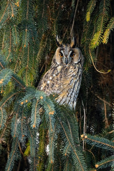 Adult long-eared owl with beautiful orange eyes and plumage perched on the tree