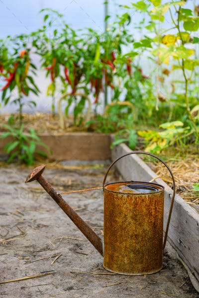 Old rusty watering can inside small greenhouse with tomato and pepper plants. Watering can for