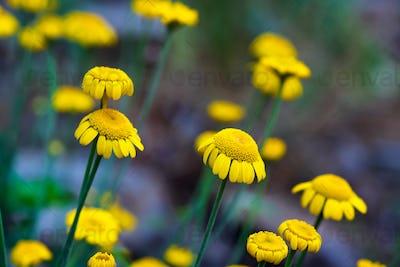 Daisy flower close up