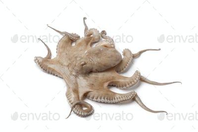Whole single fresh raw octopus