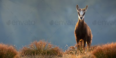 Adorable young tatra chamois standing on top of mountains in alpine vegetation