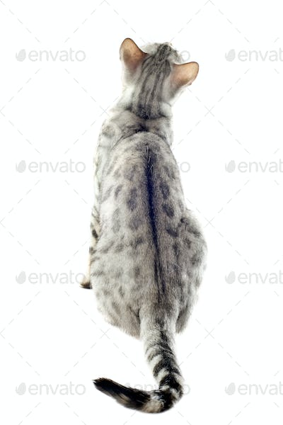 back of bengal cat