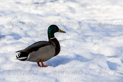 Wild ducks in winter on a snow background. A flock is looking for food.
