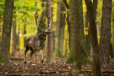 Fallow deer walking in colorful forest in autumn nature