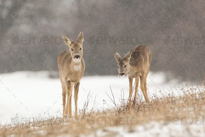 Two roe deer grazing dry grass on a meadow in freezing winter nature
