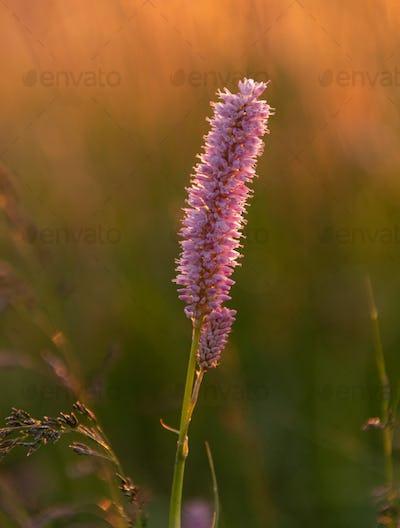 Pink flower macro in the setting sun