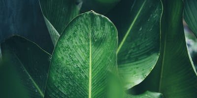 green leaf of tropical forest plant living in nature garden, exotic jungle foliage
