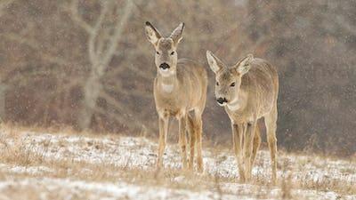 Two roe deer walking on meadow while snow is falling around in winter