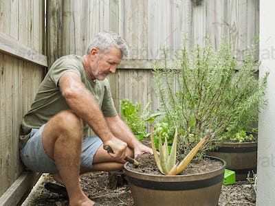Senior man cuts rosemary in courtyard. Home gardening, herbs and plants in garden