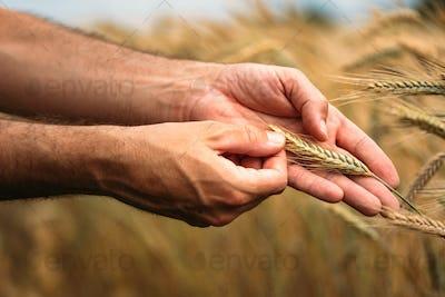 Agronomist farmer examining ripe barley crops in field