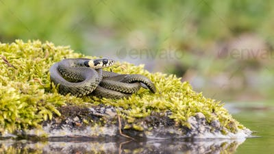 Calm grass snake basking twisted on stone covered with green moss near water