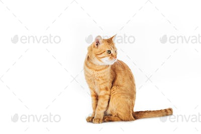 funny furry ginger cat sitting and looking away isolated on white