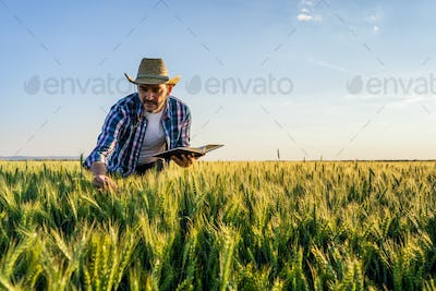 Cultivating wheat