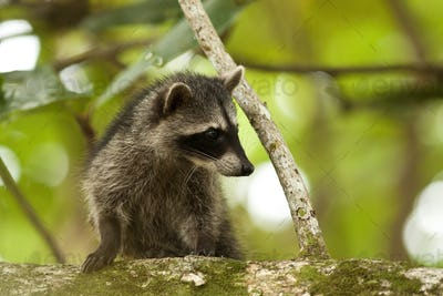 Cute raccoon cub climbing tree in a jungle of Costa Rica