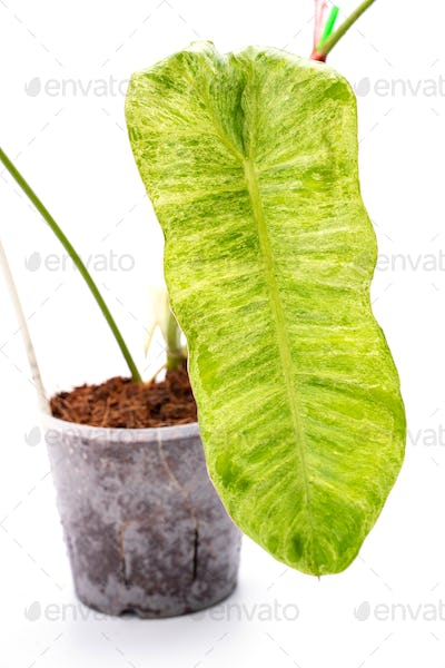 philodendron paraiso verde isolated on white background, botanical plant with green leaf in nature
