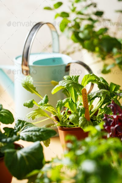 Home grown organic herbs, mustard, beet, baby pak choi