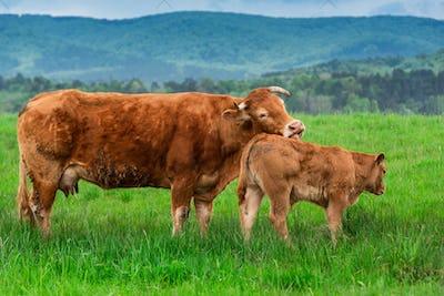 Cow and Calfon Graze Meadow in Mountains at Spring Season