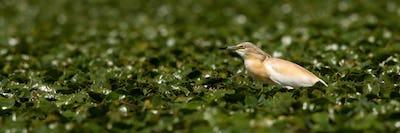 Squacco heron hunting in a swamp among plentiful water lilies