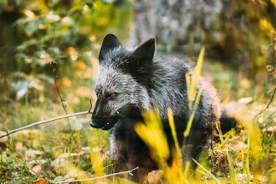 Belarus. Silver Fox Vulpes vulpes In Autumn Forest. Close Up Fox