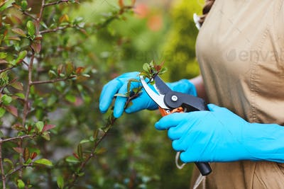 Close-up of a girl's hands in gardening gloves pruning branches of plants. The concept of