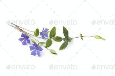 Blue flowering Vinca Minor