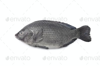 Whole single Fresh raw Tilapia fish