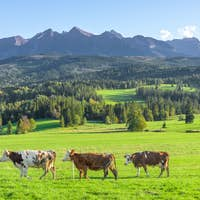Cows on a meadow in Tatra mountains