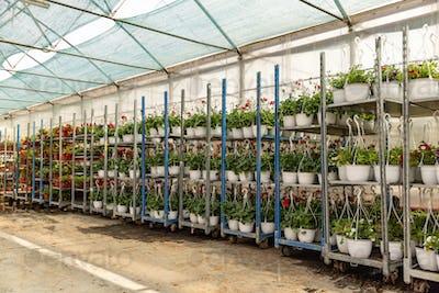 Crates with geranium plants