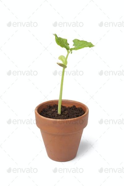 Expanding bean plant in a pot
